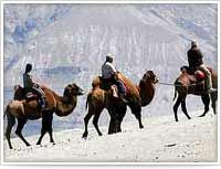 Double Humped Camel Ride, Ladakh